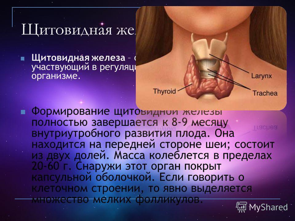 Щитовидная железа Щитовидная железа – орган эндокринной системы, участвующий в регуляции обменных процессов в организме. Формирование щитовидной железы полностью завершается к 8-9 месяцу внутриутробного развития плода. Она находится на передней сторо