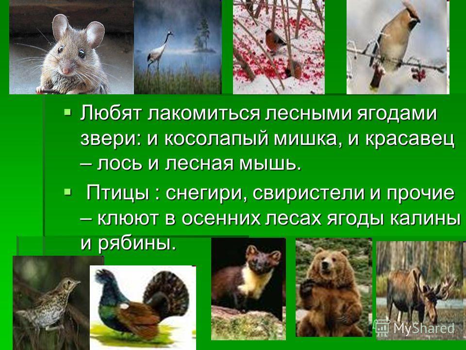 Любят лакомиться лесными ягодами звери: и косолапый мишка, и красавец – лось и лесная мышь. Любят лакомиться лесными ягодами звери: и косолапый мишка, и красавец – лось и лесная мышь. Птицы : снегири, свиристели и прочие – клюют в осенних лесах ягоды