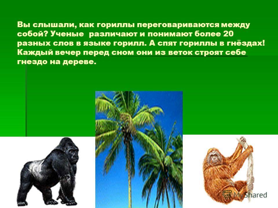 Вы слышали, как гориллы переговариваются между собой? Ученые различают и понимают более 20 разных слов в языке горилл. А спят гориллы в гнёздах! Каждый вечер перед сном они из веток строят себе гнездо на дереве.