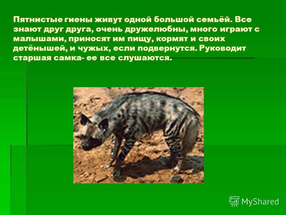 Пятнистые гиены живут одной большой семьёй. Все знают друг друга, очень дружелюбны, много играют с малышами, приносят им пищу, кормят и своих детёнышей, и чужых, если подвернутся. Руководит старшая самка- ее все слушаются.