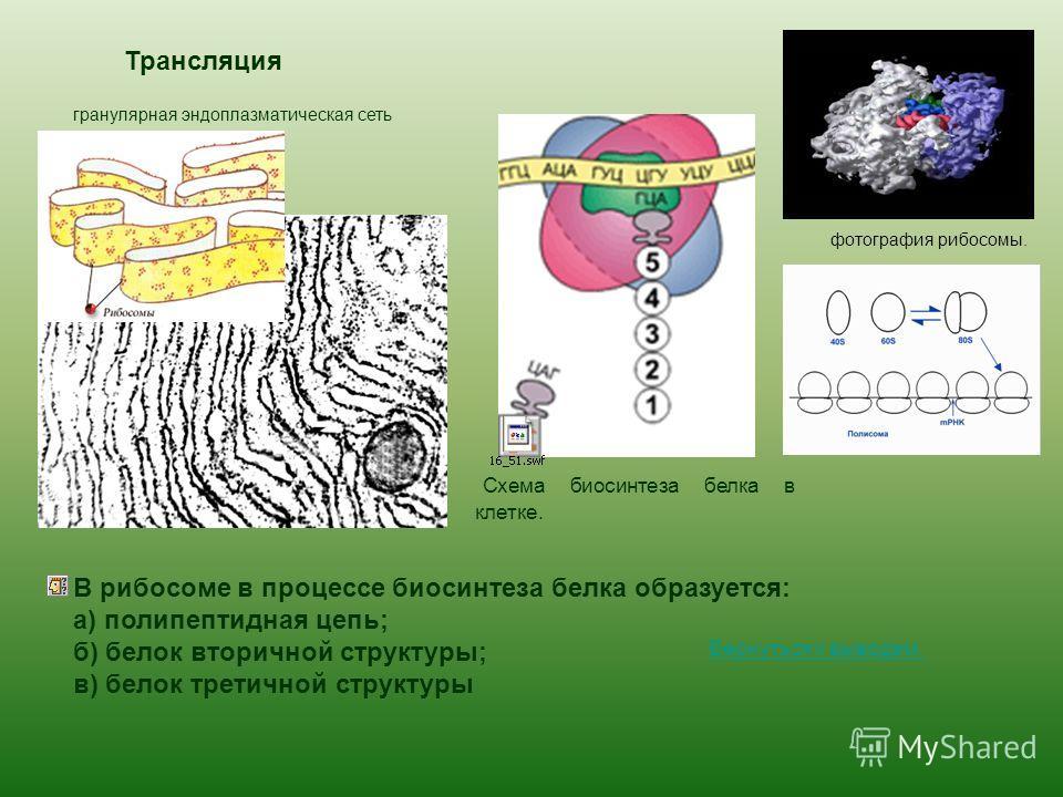Трансляция Схема биосинтеза белка в клетке. фотография рибосомы. гранулярная эндоплазматическая сеть В рибосоме в процессе биосинтеза белка образуется: а) полипептидная цепь; б) белок вторичной структуры; в) белок третичной структуры Вернуться к выво