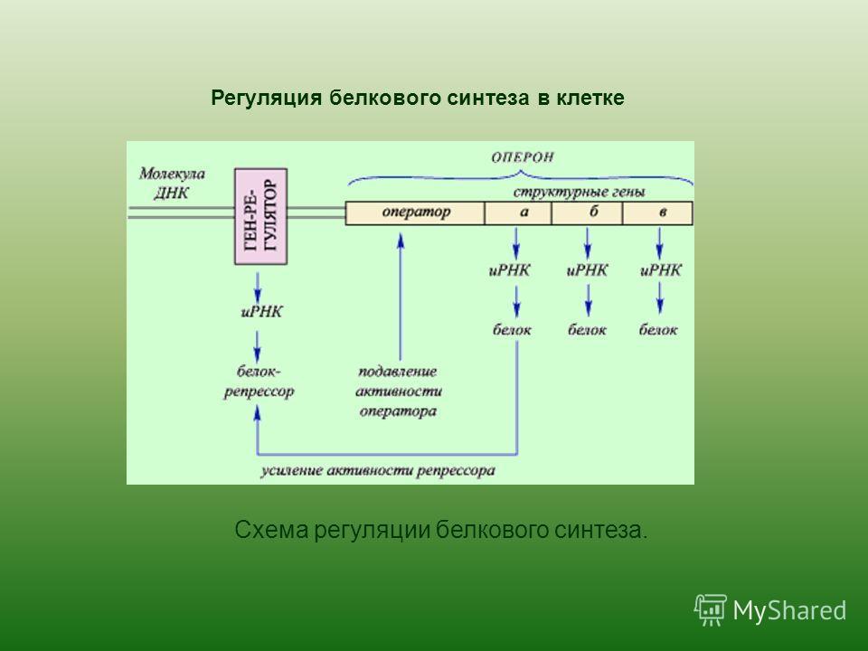 Регуляция белкового синтеза в клетке Схема регуляции белкового синтеза.