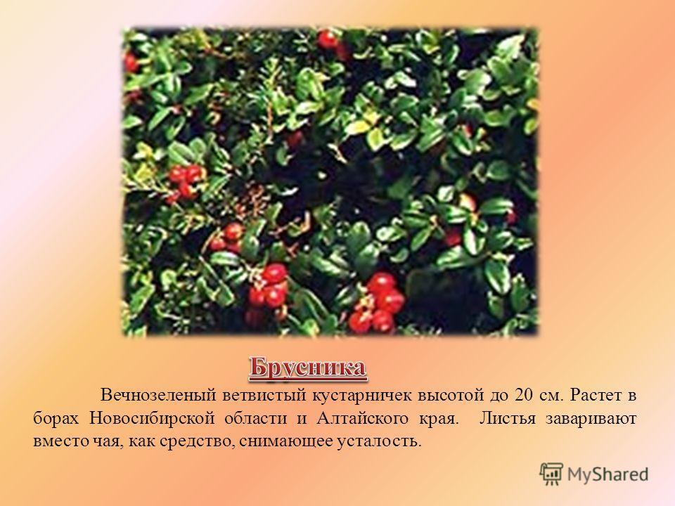 Вечнозеленый ветвистый кустарничек высотой до 20 см. Растет в борах Новосибирской области и Алтайского края. Листья заваривают вместо чая, как средство, снимающее усталость.
