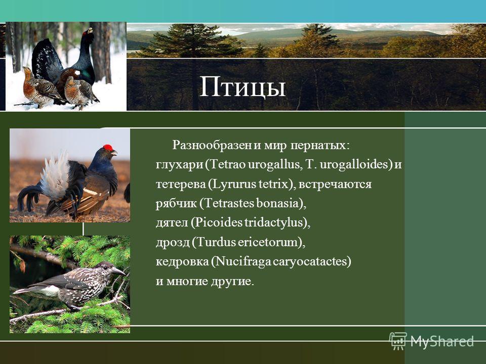 Птицы Разнообразен и мир пернатых: глухари (Tetrao urogallus, T. urogalloides) и тетерева (Lyrurus tetrix), встречаются рябчик (Tetrastes bonasia), дятел (Picoides tridactylus), дрозд (Turdus ericetorum), кедровка (Nucifraga caryocatactes) и многие д