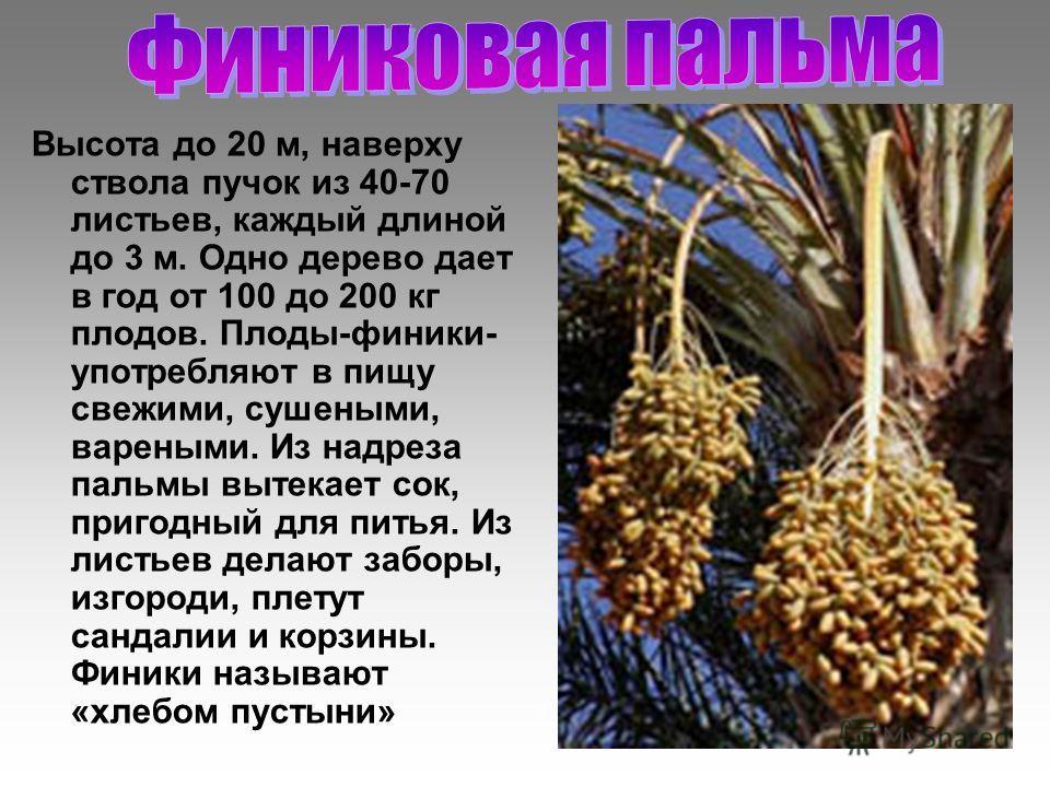 Высота до 20 м, наверху ствола пучок из 40-70 листьев, каждый длиной до 3 м. Одно дерево дает в год от 100 до 200 кг плодов. Плоды-финики- употребляют в пищу свежими, сушеными, вареными. Из надреза пальмы вытекает сок, пригодный для питья. Из листьев