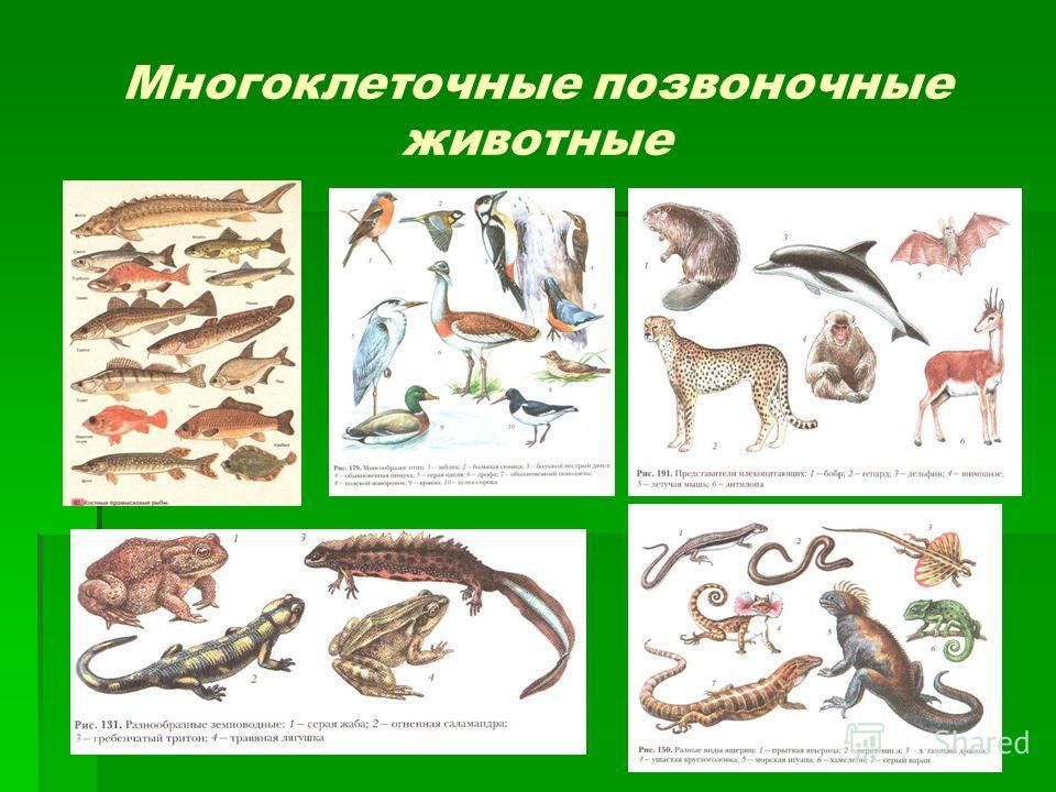Многоклеточные позвоночные животные