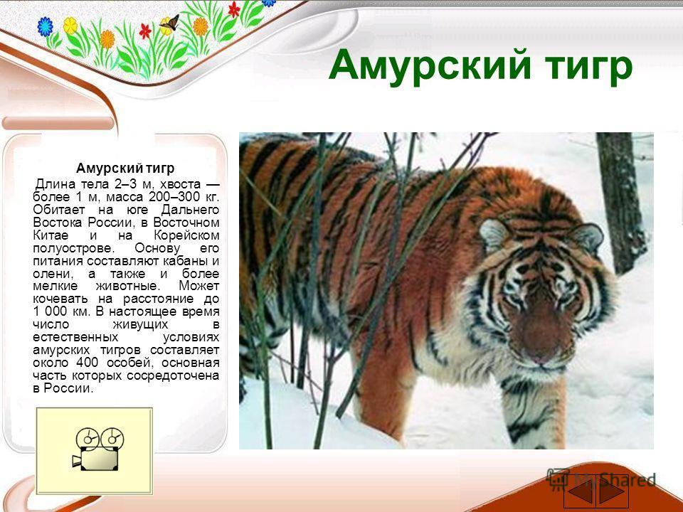 Амурский тигр Длина тела 2–3 м, хвоста более 1 м, масса 200–300 кг. Обитает на юге Дальнего Востока России, в Восточном Китае и на Корейском полуострове. Основу его питания составляют кабаны и олени, а также и более мелкие животные. Может кочевать на