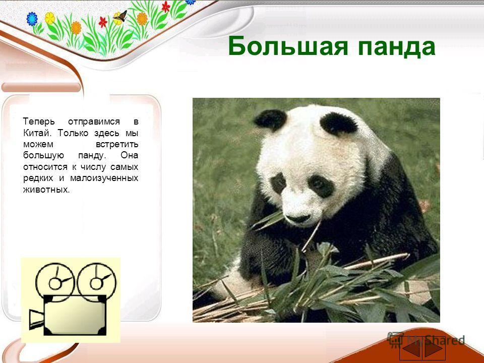 Большая панда Теперь отправимся в Китай. Только здесь мы можем встретить большую панду. Она относится к числу самых редких и малоизученных животных.