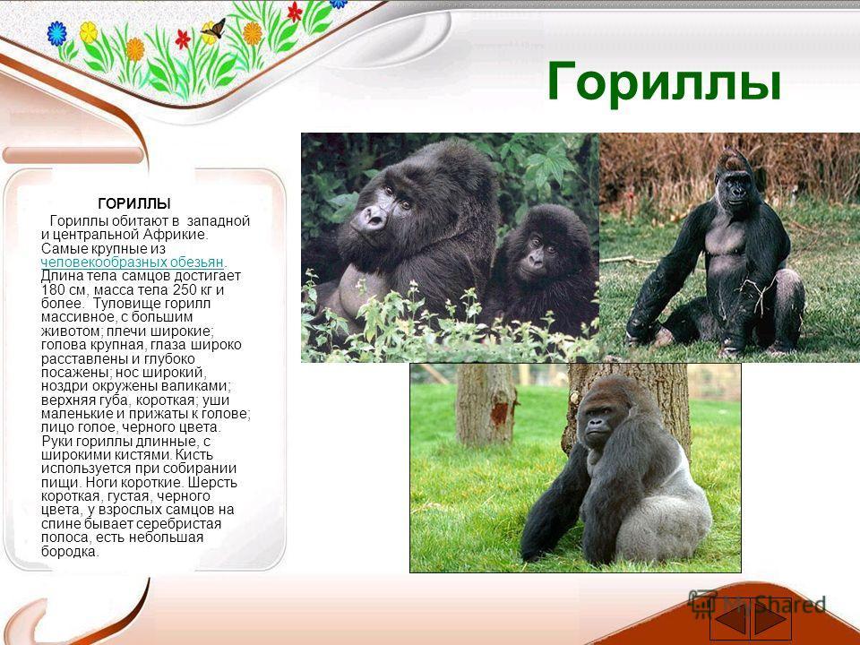 Гориллы ГОРИЛЛЫ Гориллы обитают в западной и центральной Африкие. Самые крупные из человекообразных обезьян. Длина тела самцов достигает 180 см, масса тела 250 кг и более. Туловище горилл массивное, с большим животом; плечи широкие; голова крупная, г