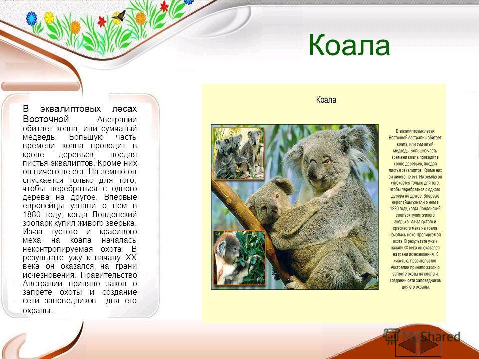 Коала В эквалиптовых лесах Восточной Австралии обитает коала, или сумчатый медведь. Большую часть времени коала проводит в кроне деревьев, поедая листья эквалиптов. Кроме них он ничего не ест. На землю он спускается только для того, чтобы перебраться