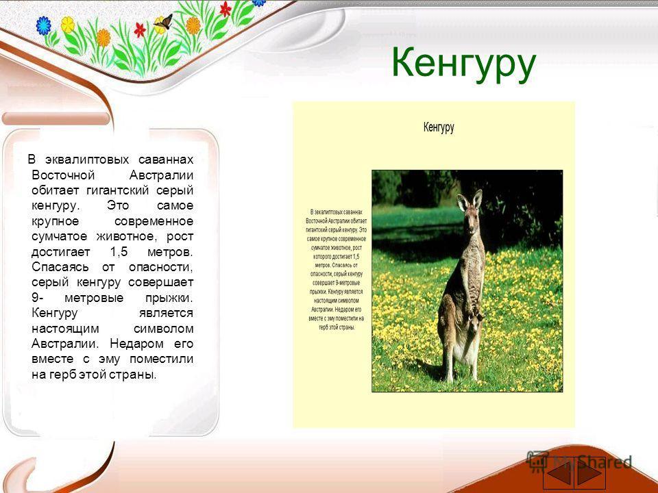 Кенгуру В эквалиптовых саваннах Восточной Австралии обитает гигантский серый кенгуру. Это самое крупное современное сумчатое животное, рост достигает 1,5 метров. Спасаясь от опасности, серый кенгуру совершает 9- метровые прыжки. Кенгуру является наст