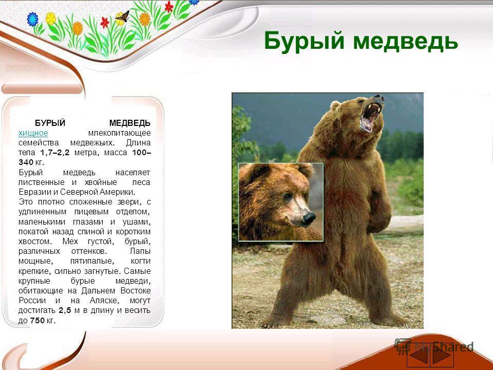 Бурый медведь БУРЫЙ МЕДВЕДЬ хищное млекопитающее семейства медвежьих. Длина тела 1,7–2,2 метра, масса 100– 340 кг. хищное Бурый медведь населяет лиственные и хвойные леса Евразии и Северной Америки. Это плотно сложенные звери, с удлиненным лицевым от