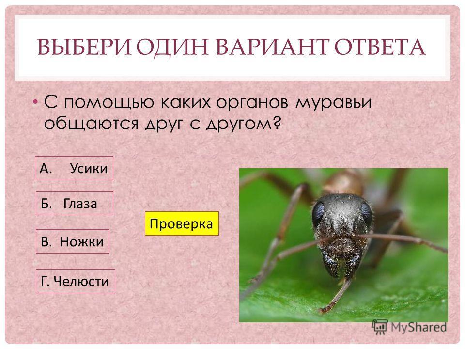 ВЫБЕРИ ОДИН ВАРИАНТ ОТВЕТА С помощью каких органов муравьи общаются друг с другом? А. Усики Б. Глаза В. Ножки Г. Челюсти Проверка