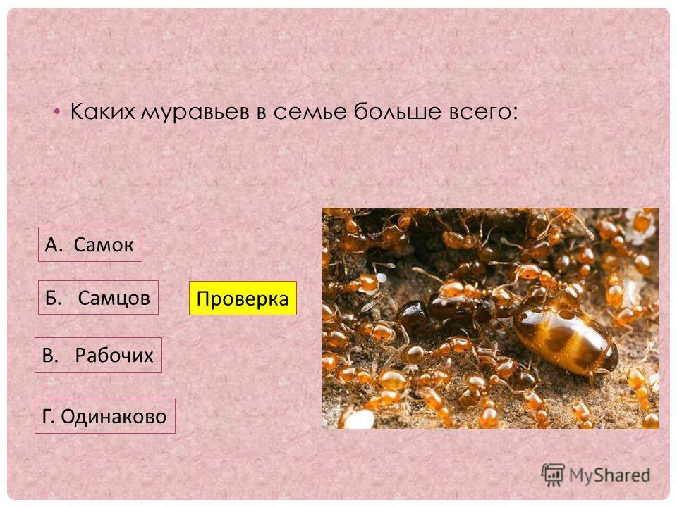 Каких муравьев в семье больше всего: А. Самок Б. Самцов В. Рабочих Проверка Г. Одинаково