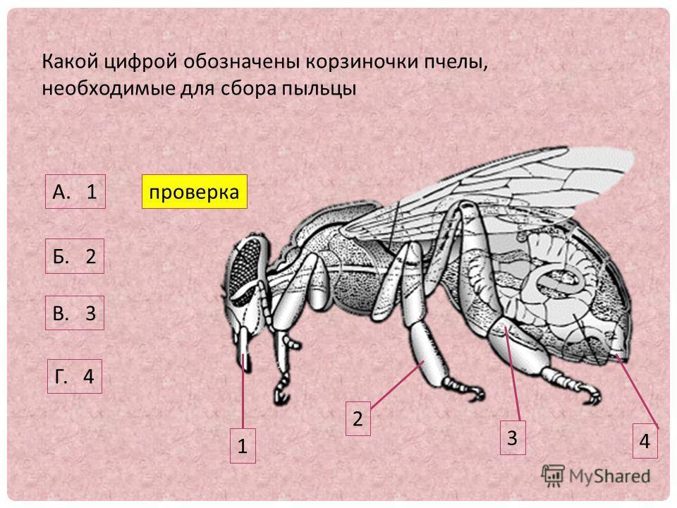 Какой цифрой обозначены корзиночки пчелы, необходимые для сбора пыльцы 1 2 3 4 А. 1 Б. 2 В. 3 Г. 4 проверка
