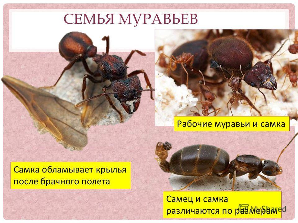 СЕМЬЯ МУРАВЬЕВ Самец и самка различаются по размерам Самка обламывает крылья после брачного полета Рабочие муравьи и самка