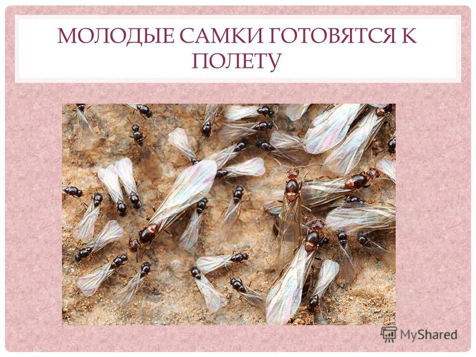 И муравьи общественные насекомые