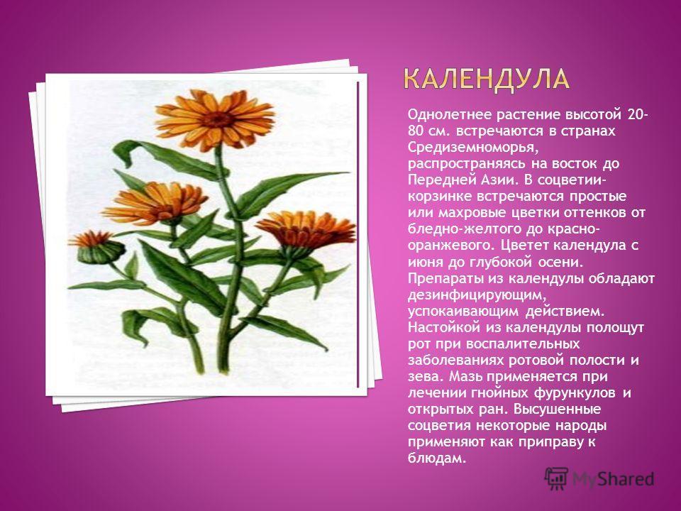 Однолетнее растение высотой 20- 80 см. встречаются в странах Средиземноморья, распространяясь на восток до Передней Азии. В соцветии- корзинке встречаются простые или махровые цветки оттенков от бледно-желтого до красно- оранжевого. Цветет календула