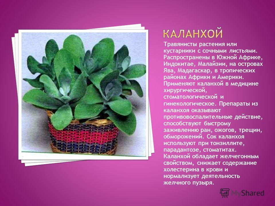 Травянисты растения или кустарники с сочными листьями. Распространены в Южной Африке, Индокитае, Малайзии, на островах Ява, Мадагаскар, в тропических районах Африки и Америки. Применяют каланхой в медицине хирургической, стоматологической и гинеколог