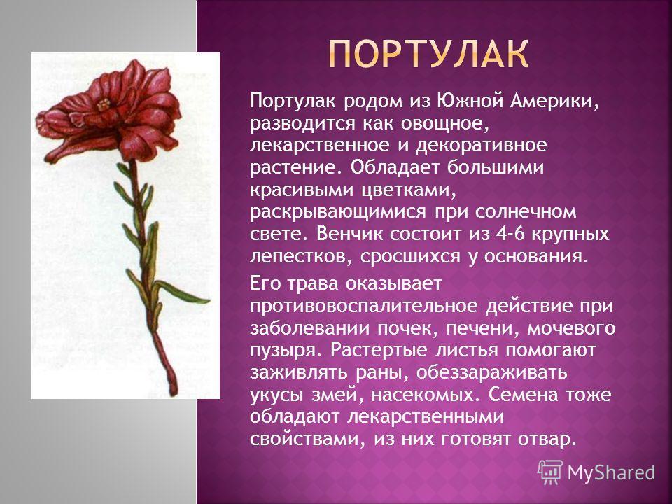 Портулак родом из Южной Америки, разводится как овощное, лекарственное и декоративное растение. Обладает большими красивыми цветками, раскрывающимися при солнечном свете. Венчик состоит из 4-6 крупных лепестков, сросшихся у основания. Его трава оказы