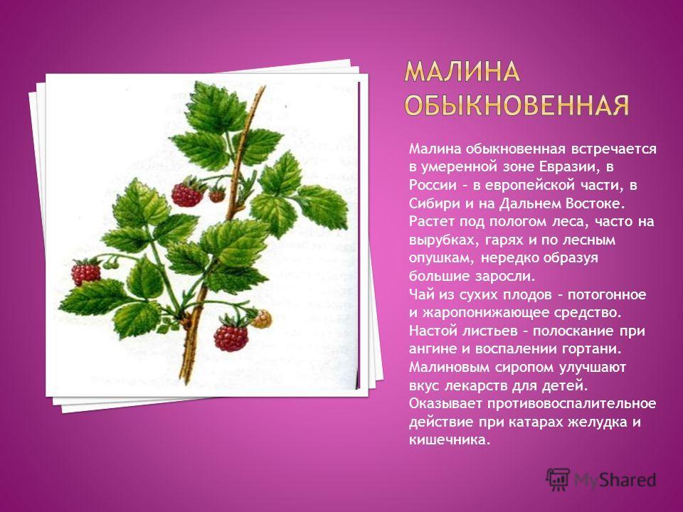 Малина обыкновенная встречается в умеренной зоне Евразии, в России – в европейской части, в Сибири и на Дальнем Востоке. Растет под пологом леса, часто на вырубках, гарях и по лесным опушкам, нередко образуя большие заросли. Чай из сухих плодов – пот