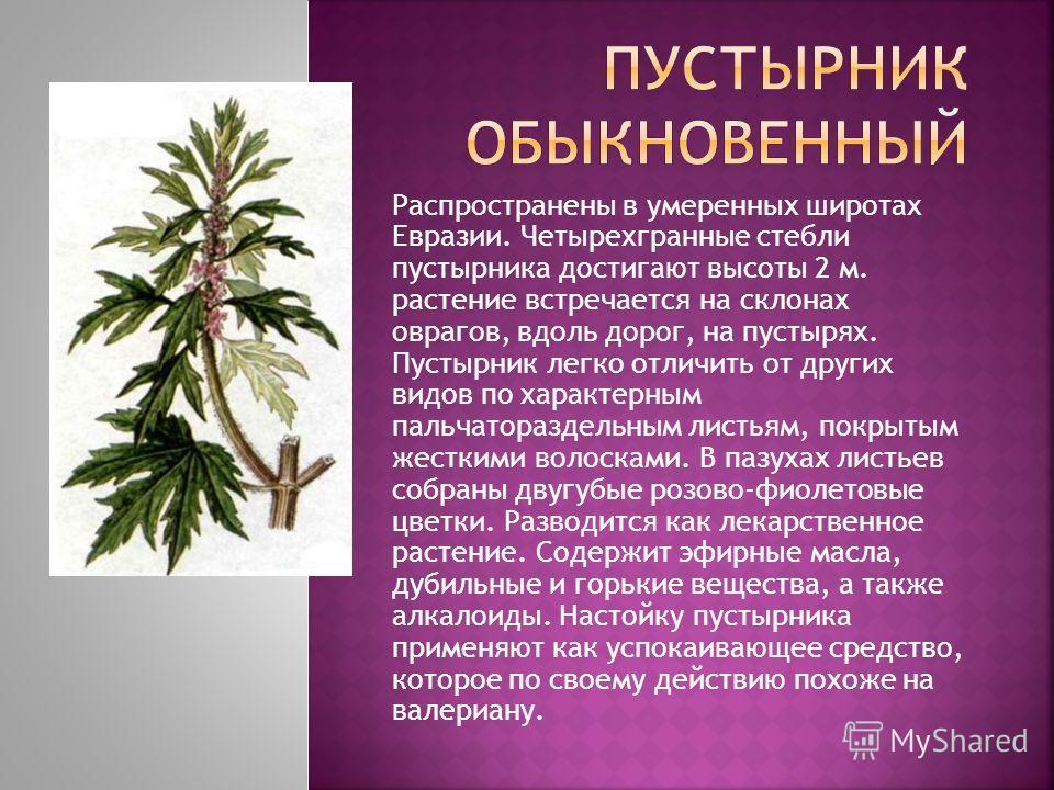 Распространены в умеренных широтах Евразии. Четырехгранные стебли пустырника достигают высоты 2 м. растение встречается на склонах оврагов, вдоль дорог, на пустырях. Пустырник легко отличить от других видов по характерным пальчатораздельным листьям,