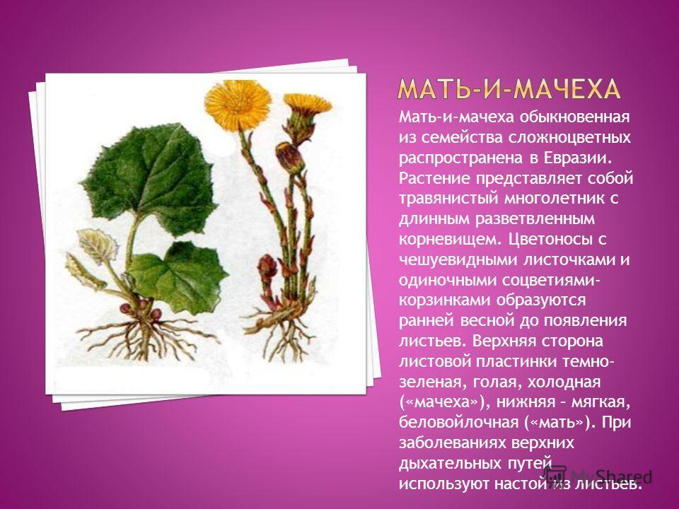 Мать-и-мачеха обыкновенная из семейства сложноцветных распространена в Евразии. Растение представляет собой травянистый многолетник с длинным разветвленным корневищем. Цветоносы с чешуевидными листочками и одиночными соцветиями- корзинками образуются