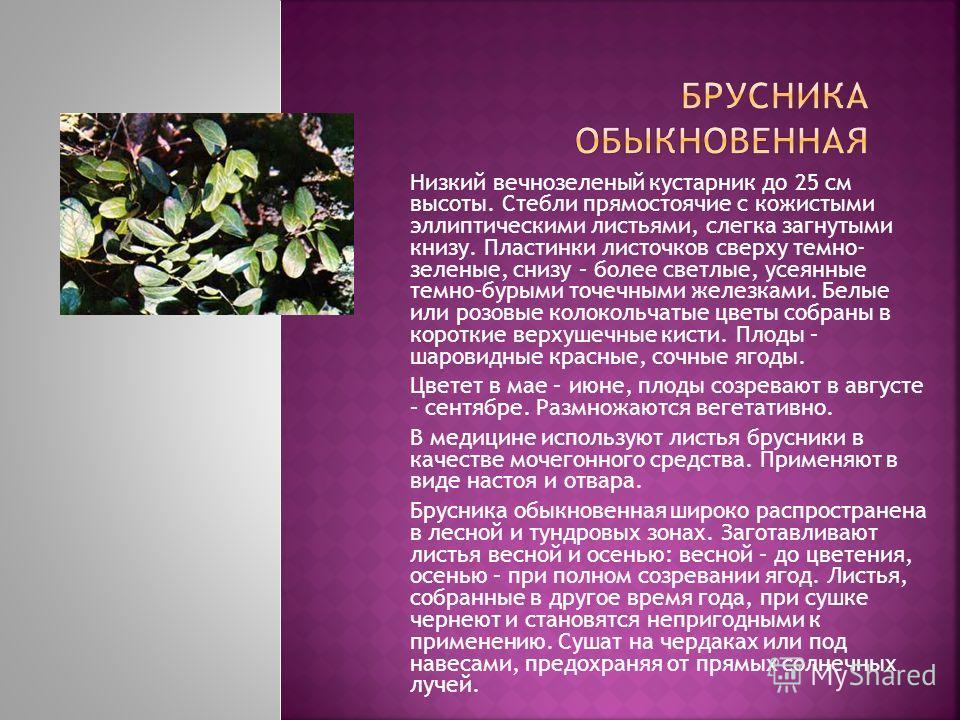 Низкий вечнозеленый кустарник до 25 см высоты. Стебли прямостоячие с кожистыми эллиптическими листьями, слегка загнутыми книзу. Пластинки листочков сверху темно- зеленые, снизу – более светлые, усеянные темно-бурыми точечными железками. Белые или роз