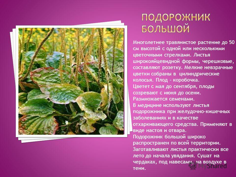 Многолетнее травянистое растение до 50 см высотой с одной или несколькими цветочными стрелками. Листья широкояйцевидной формы, черешковые, составляют розетку. Мелкие невзрачные цветки собраны в цилиндрические колосья. Плод – коробочка. Цветет с мая д
