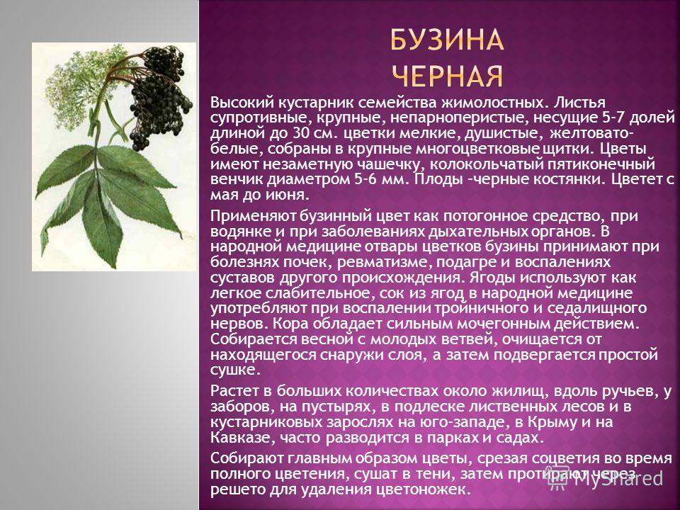 Высокий кустарник семейства жимолостных. Листья супротивные, крупные, непарноперистые, несущие 5-7 долей длиной до 30 см. цветки мелкие, душистые, желтовато- белые, собраны в крупные многоцветковые щитки. Цветы имеют незаметную чашечку, колокольчатый