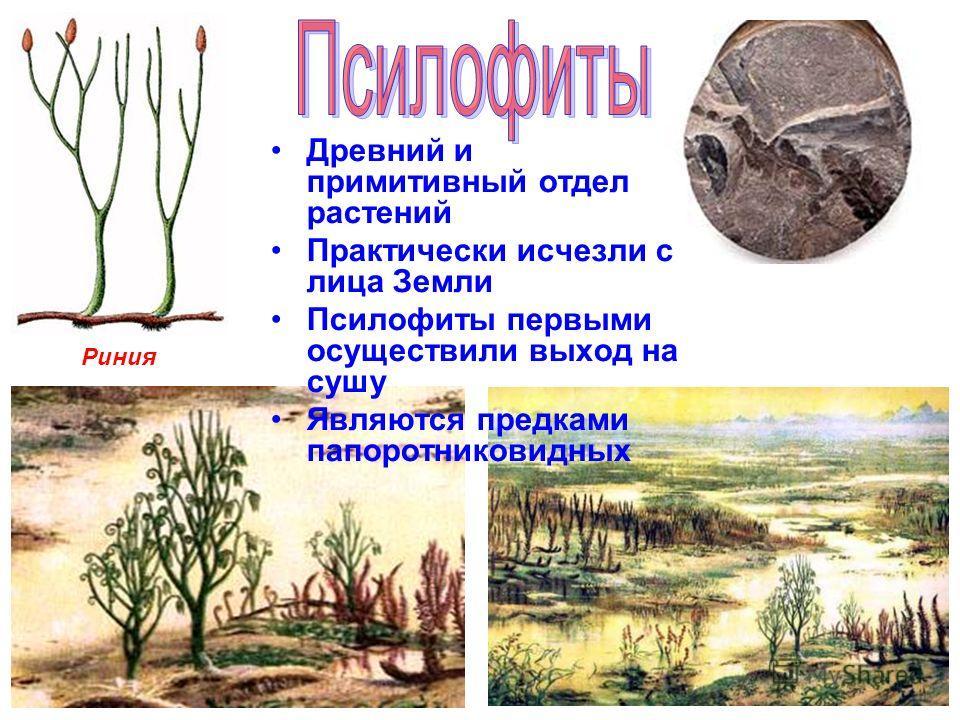 Древний и примитивный отдел растений Практически исчезли с лица Земли Псилофиты первыми осуществили выход на сушу Являются предками папоротниковидных Риния