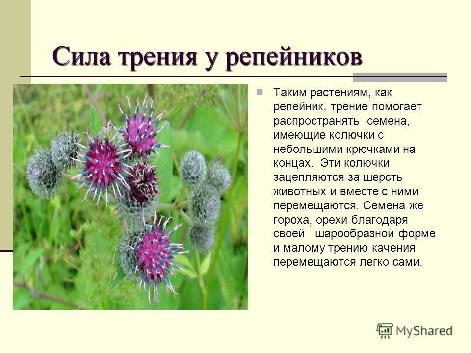 Сила трения у репейников Таким растениям, как репейник, трение помогает распространять семена, имеющие колючки с небольшими крючками на концах. Эти колючки зацепляются за шерсть животных и вместе с ними перемещаются. Семена же гороха, орехи благодаря
