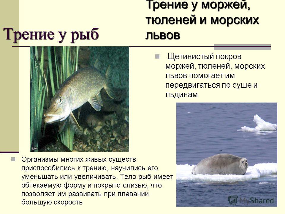 Трение у рыб Организмы многих живых существ приспособились к трению, научились его уменьшать или увеличивать. Тело рыб имеет обтекаемую форму и покрыто слизью, что позволяет им развивать при плавании большую скорость Организмы многих живых существ пр