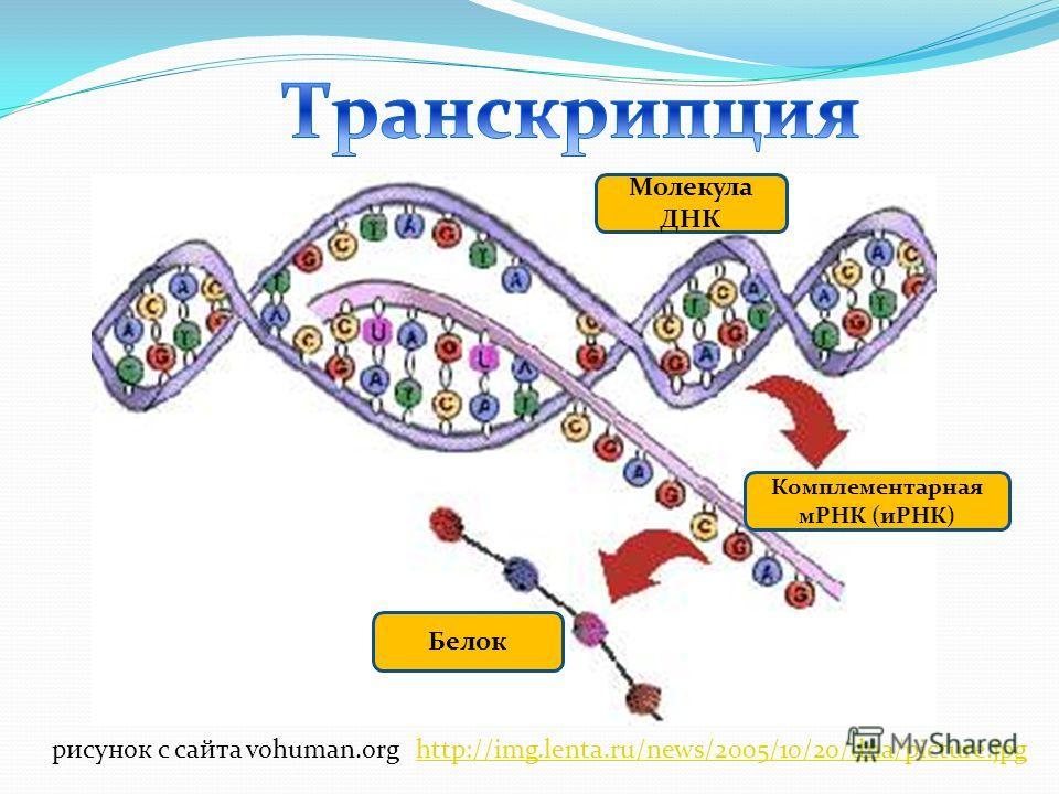 Молекула ДНК Комплементарная мРНК (иРНК) Белок рисунок с сайта vohuman.orghttp://img.lenta.ru/news/2005/10/20/dna/picture.jpg