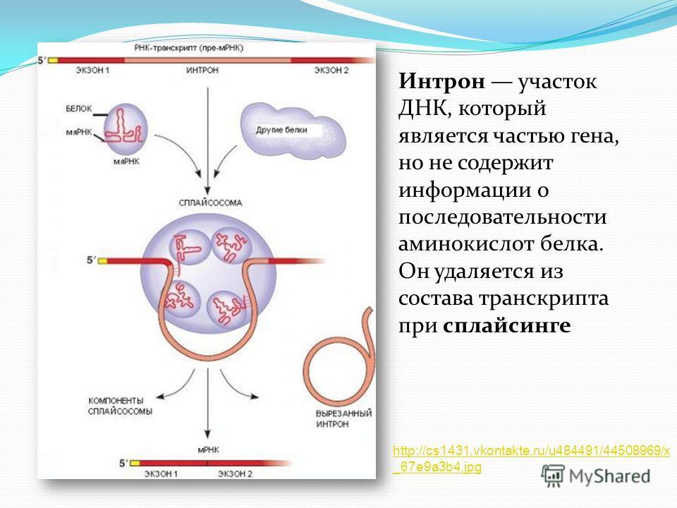 Интрон участок ДНК, который является частью гена, но не содержит информации о последовательности аминокислот белка. Он удаляется из состава транскрипта при сплайсинге http://cs1431.vkontakte.ru/u484491/44508969/x _67e9a3b4.jpg