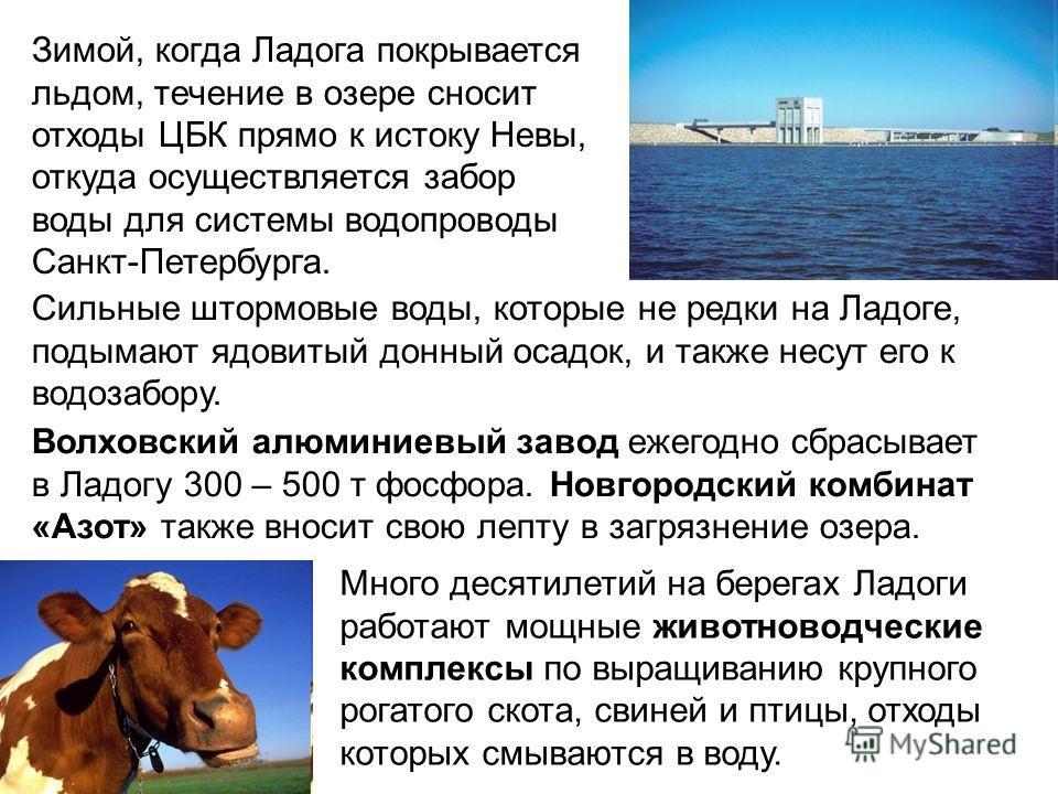 Зимой, когда Ладога покрывается льдом, течение в озере сносит отходы ЦБК прямо к истоку Невы, откуда осуществляется забор воды для системы водопроводы Санкт-Петербурга. Волховский алюминиевый завод ежегодно сбрасывает в Ладогу 300 – 500 т фосфора. Но