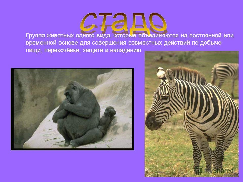 Группа животных одного вида, которые объединяются на постоянной или временной основе для совершения совместных действий по добыче пищи, перекочёвке, защите и нападению