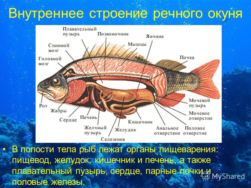 Внутреннее строение речного окуня В полости тела рыб лежат органы пищеварения: пищевод, желудок, кишечник и печень, а также плавательный пузырь, сердце, парные почки и половые железы.