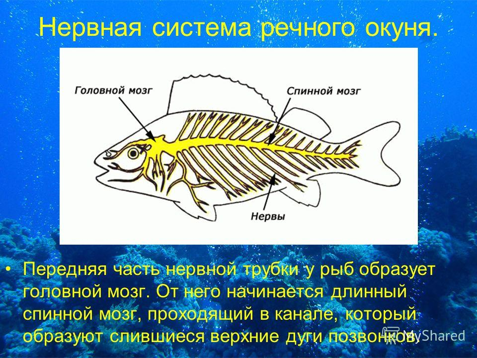 Нервная система речного окуня. Передняя часть нервной трубки у рыб образует головной мозг. От него начинается длинный спинной мозг, проходящий в канале, который образуют слившиеся верхние дуги позвонков.
