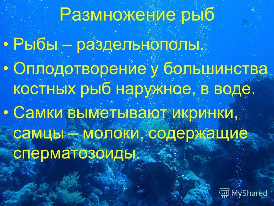 Размножение рыб Рыбы – раздельнополы. Оплодотворение у большинства костных рыб наружное, в воде. Самки выметывают икринки, самцы – молоки, содержащие сперматозоиды.
