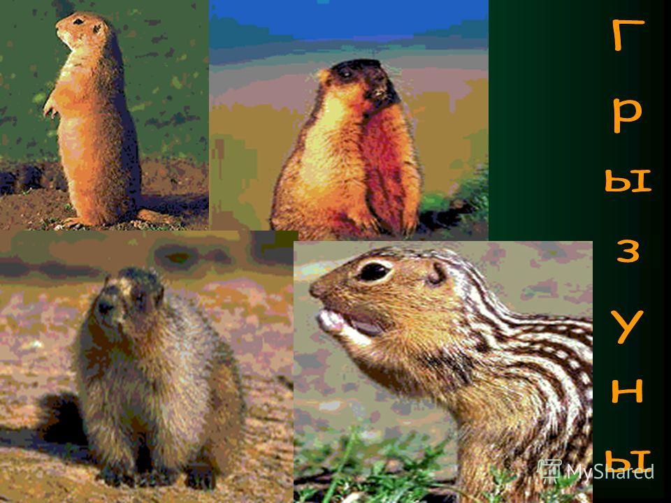 Из более крупных грызунов встречаются обыкновенный хомяк, крапчатый суслик и сурок – байбак. У опушек дубрав и в самой степи часто можно встретить выбросы земли южно-русского слепыша.