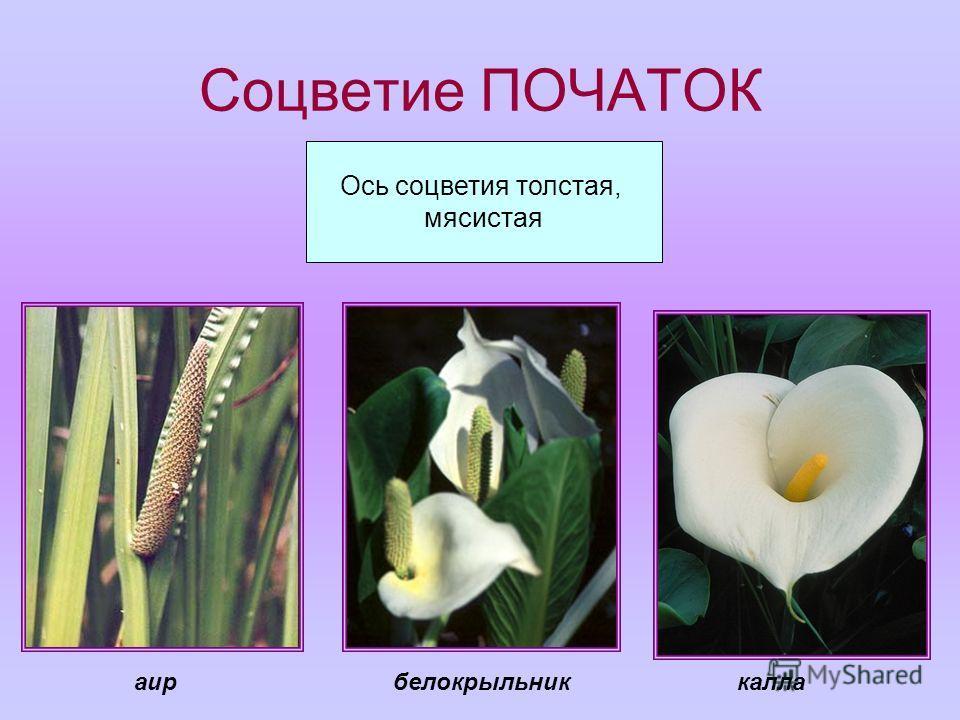 Соцветие ПОЧАТОК Ось соцветия толстая, мясистая каллабелокрыльникаир