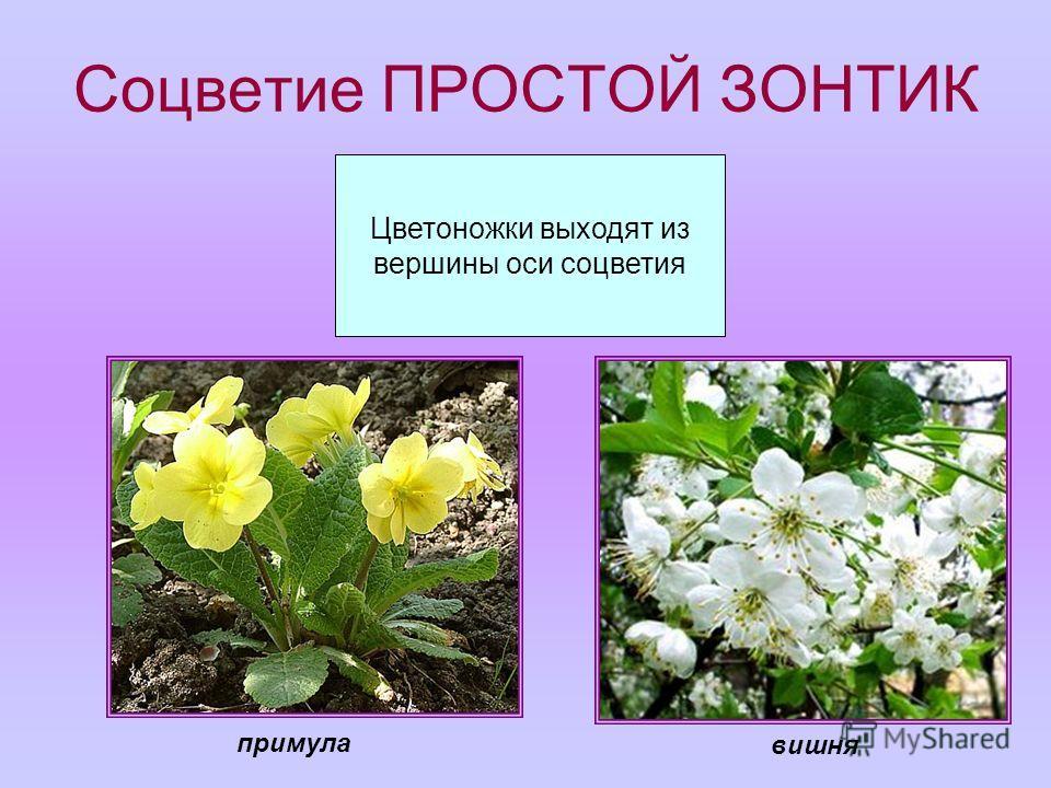 Соцветие ПРОСТОЙ ЗОНТИК Цветоножки выходят из вершины оси соцветия вишня примула