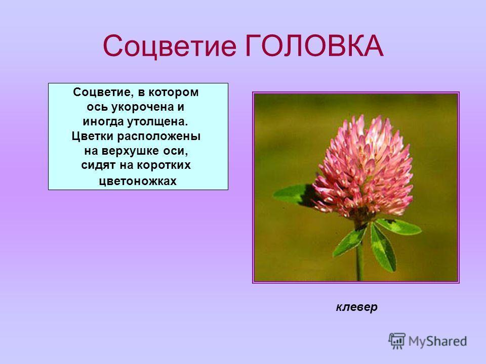 Соцветие ГОЛОВКА Соцветие, в котором ось укорочена и иногда утолщена. Цветки расположены на верхушке оси, сидят на коротких цветоножках клевер