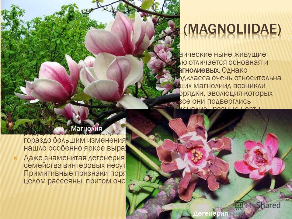 В подкласс магнолиид вводят наиболее архаические ныне живущие цветковые растения. Особой примитивностью отличается основная и центральная группа магнолиид порядок магнолиевых. Однако примитивность отдельных представителей подкласса очень относительна