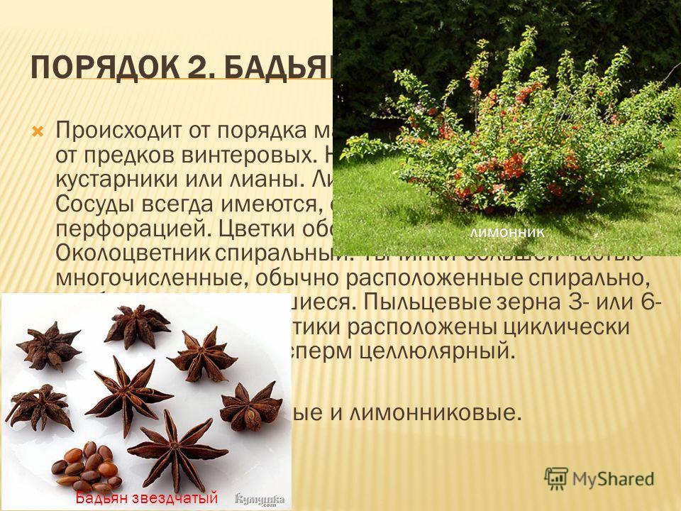 ПОРЯДОК 2. БАДЬЯНОВЫЕ (ILLICIALES). Происходит от порядка магнолиевых, вероятнее всего от предков винтеровых. Небольшие деревья, кустарники или лианы. Листья лишены прилистников. Сосуды всегда имеются, обычно с лестничной перфорацией. Цветки обоеполы