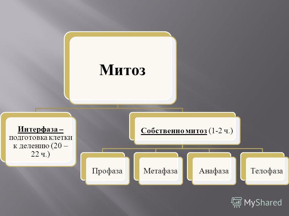 Митоз Интерфаза – подготовка клетки к делению (20 – 22 ч.) Собственно митоз (1-2 ч.)ПрофазаМетафазаАнафазаТелофаза