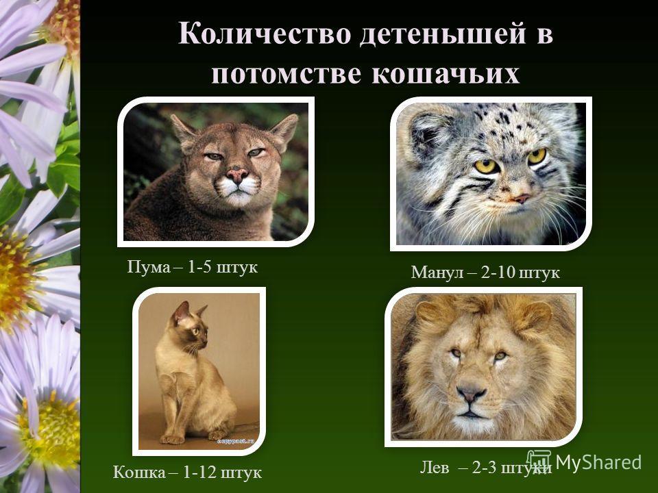 Количество детенышей в потомстве кошачьих Пума – 1-5 штук Кошка – 1-12 штук Манул – 2-10 штук Лев – 2-3 штуки