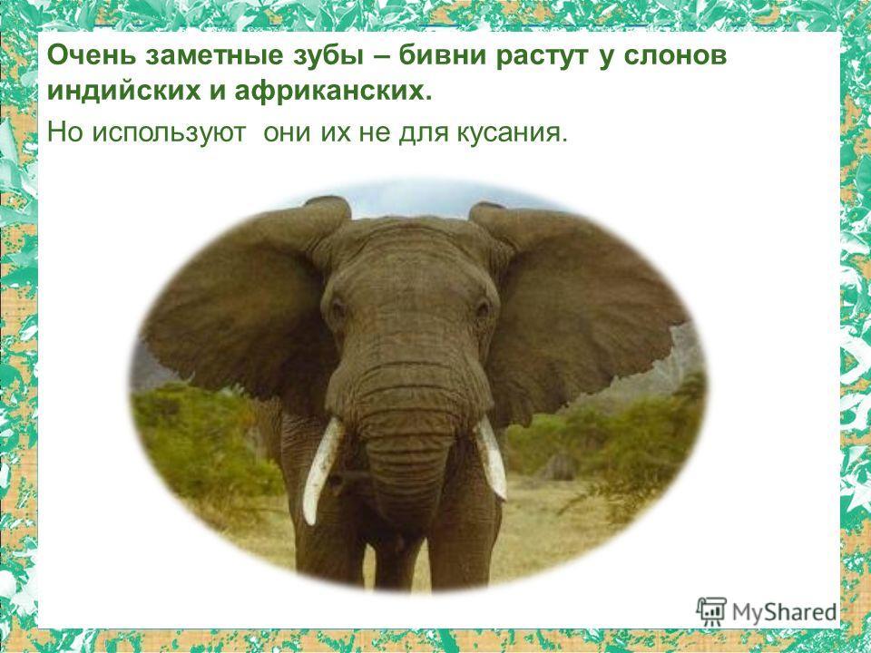Очень заметные зубы – бивни растут у слонов индийских и африканских. Но используют они их не для кусания.