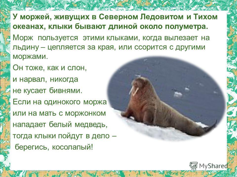 У моржей, живущих в Северном Ледовитом и Тихом океанах, клыки бывают длиной около полуметра. Морж пользуется этими клыками, когда вылезает на льдину – цепляется за края, или ссорится с другими моржами. Он тоже, как и слон, и нарвал, никогда не кусает